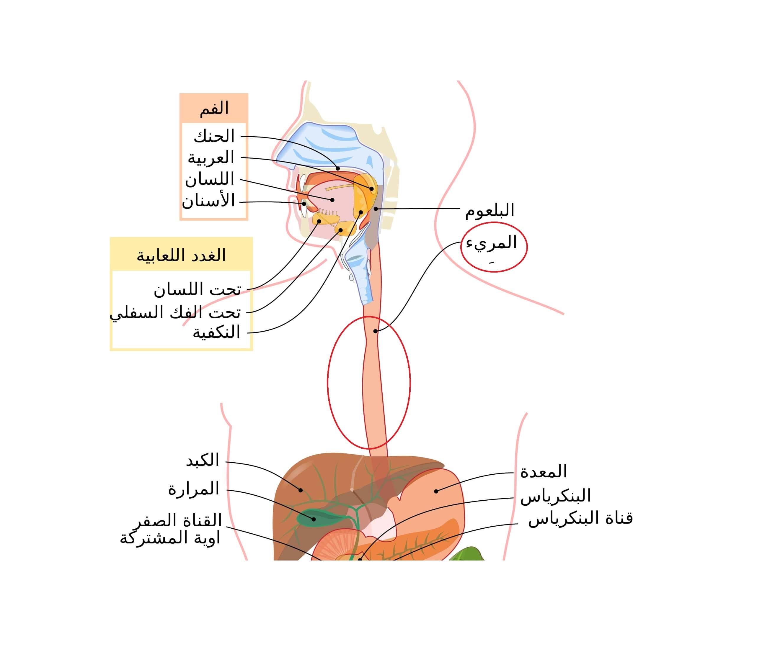 آلام المعدة في الصباح أكثر 4 أسباب شيوع ا Estshara